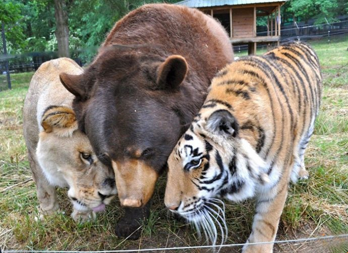 lion-bear-tiger-11