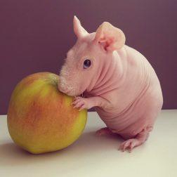 naked-guinea-pig-food