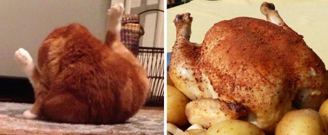 кот похожий на курицу