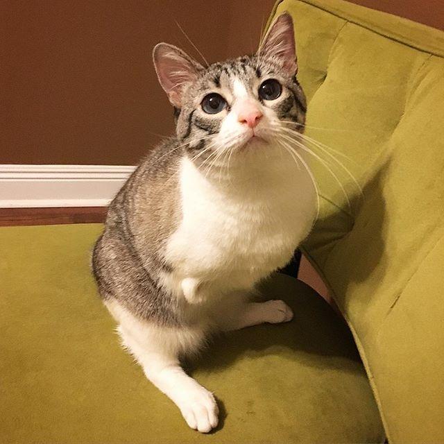 two-legged cat Roux
