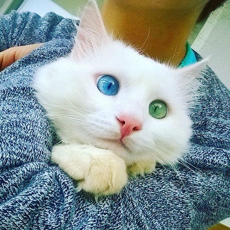 Кот Алош
