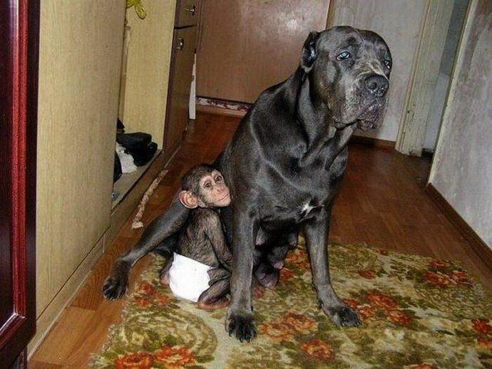 chimp_and_mastiff