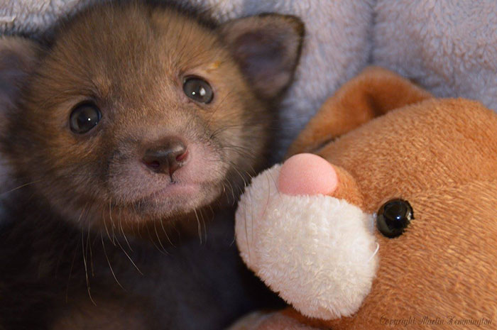 baby-fox-puggle-national-fox-welfare-society