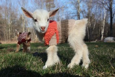 baby-goats-knit
