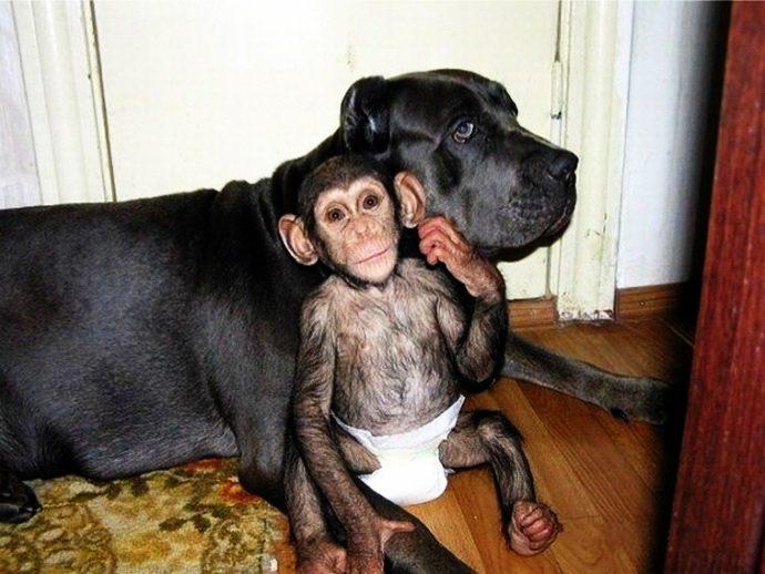 chimpbaby