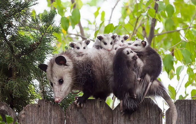 possums-