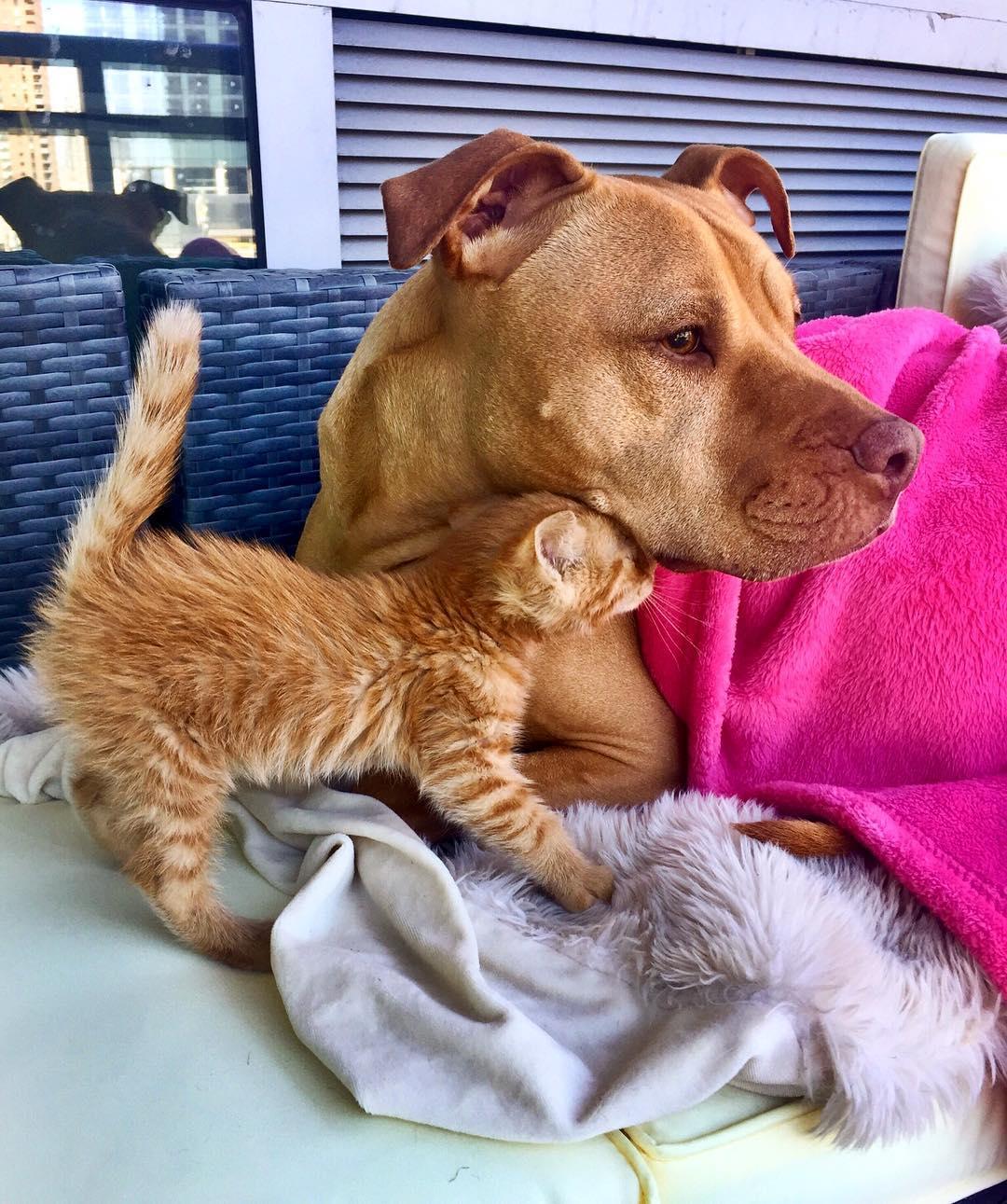 Pit bull Bubba & kitten Rue