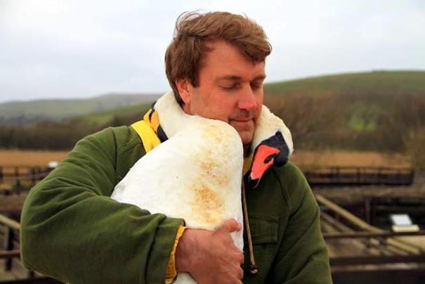 injured-swan
