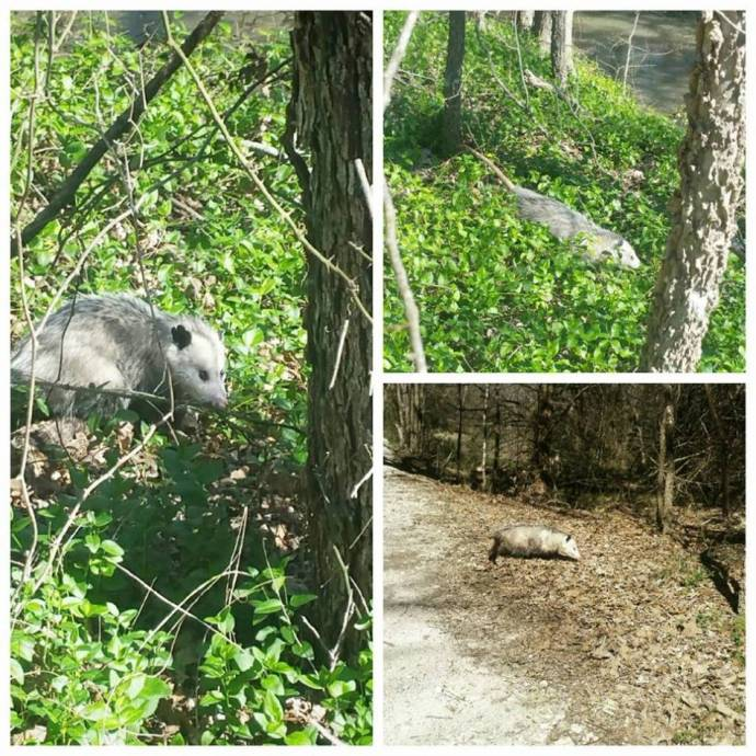 opossum рис 6