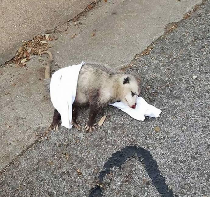 opossum рис 2