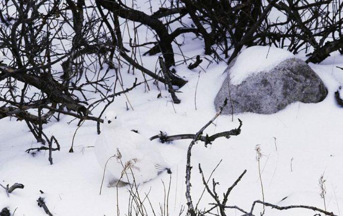 willow-ptarmigan