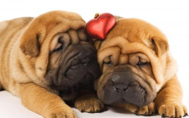 Animals___Dogs_Two_shar_pei_puppies_in_love_047887_