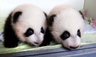 animal-twins