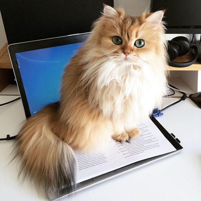 Кошка Смузи рис 2