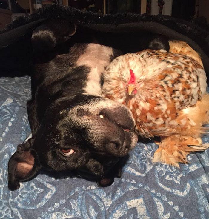 blind-chicken-dog-friends-mumble-29