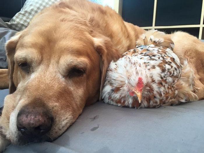 blind-chicken-dog-friends-mumble-31