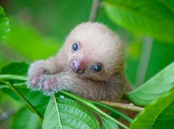 Трогательные ленивцы: неизвестная сторона пушистой жизни