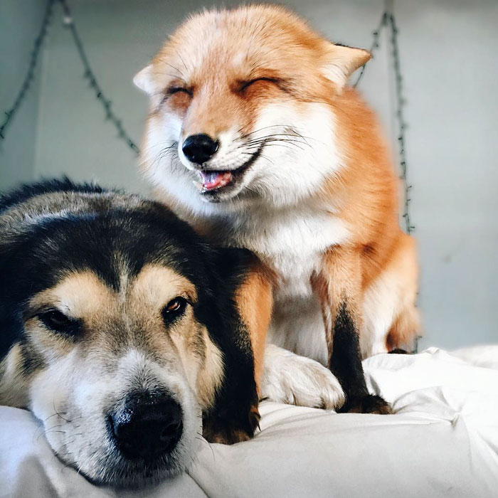 Лиса и пес лучшие друзья