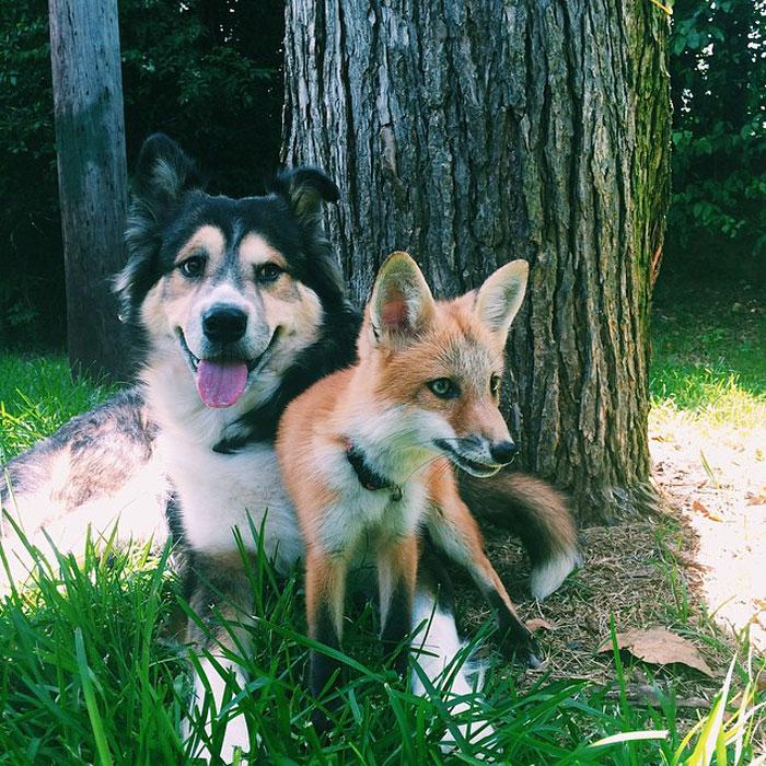 Лиса и пес лучшие друзья рис 4