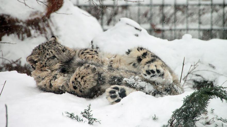 Снежные барсы жуют хвосты