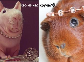 Морские свинки продают украшения! Прикольные фотографии пушистых моделей