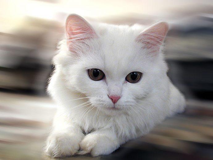 Картинки по запросу цвет кошки