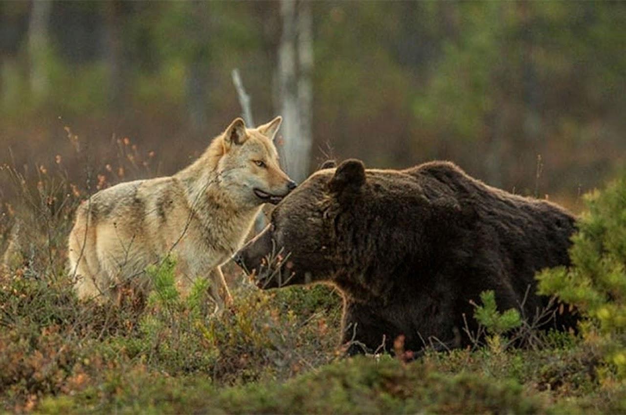 Картинка медведь с волком