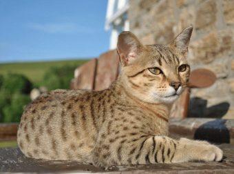Египетские кошки: прикоснись к истории, узнай о породе!