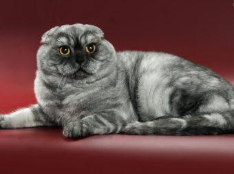 Шотландские вислоухие коты: милая мордашка — добрая душа!