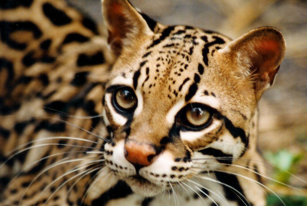 ocelot-wild-cat-desktop-wallpaper-1280x1024