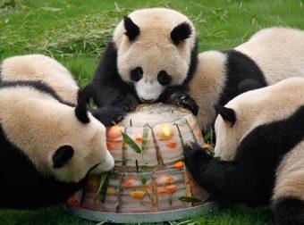 Ты не ты, когда жара: как панда мороженое ела