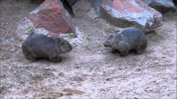 wombat (2)