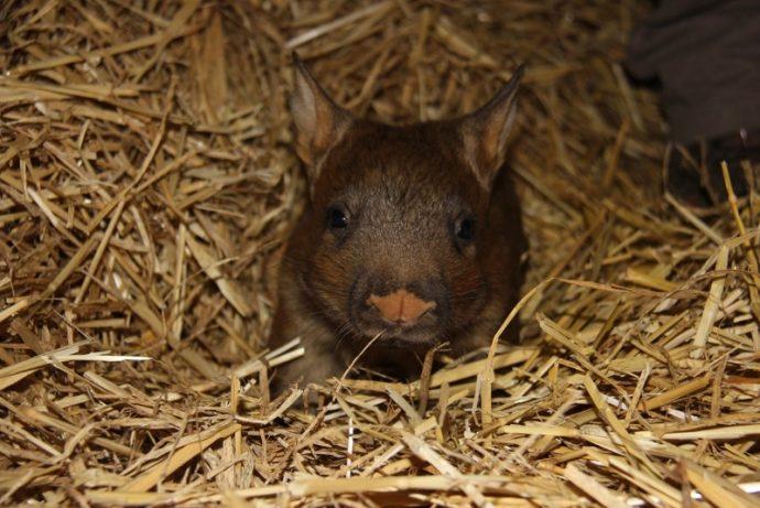 wombat (3)