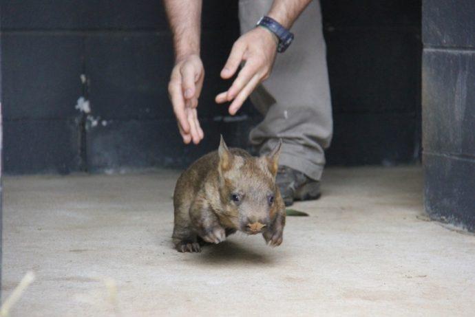 wombat (4)