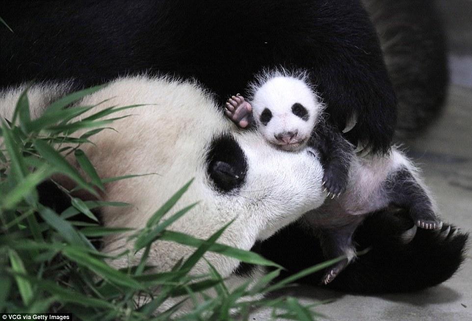 panda-go-go6