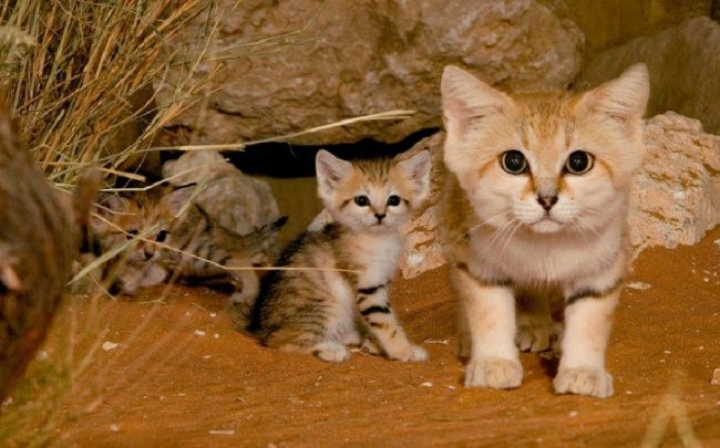 16452065-18484060-R3L8T8D-900-sand-cats-kittens-forever-1__880-1470936758-650-d76399cace-1471344018
