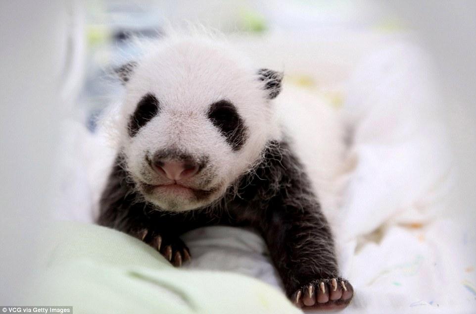panda-go-go3