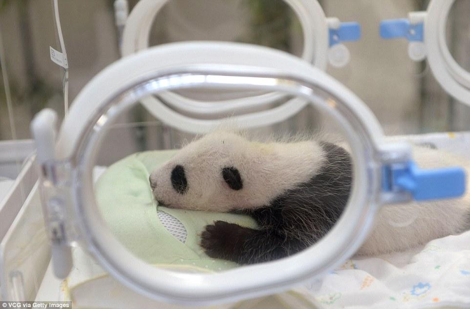 panda-go-go5