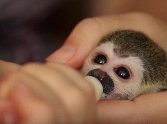 Удивительная история о том, как детеныш обезьяны обрел новую маму