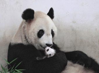 В зоопарке Шанхая радость! Маленькой панде исполнился месяц!