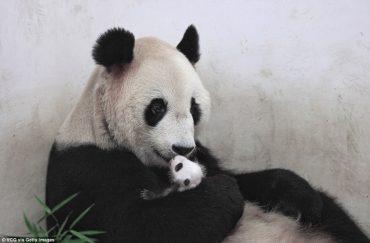 panda-go-go