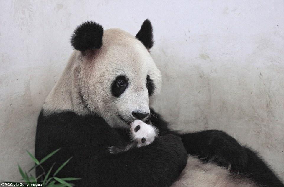 panda-go-go7
