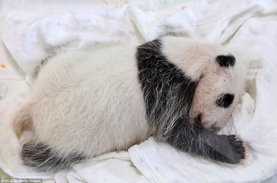 panda-go-go4