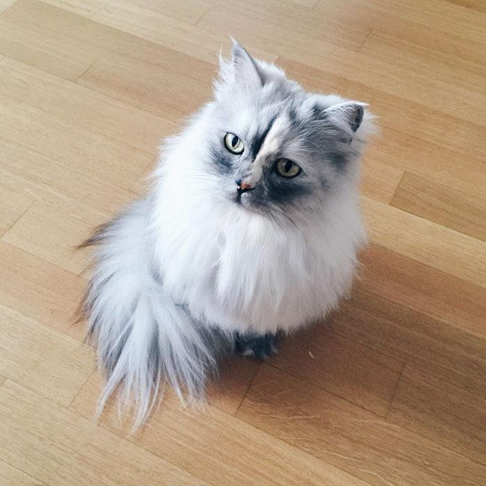 adopted-cat-fur-persian-halloalice-19