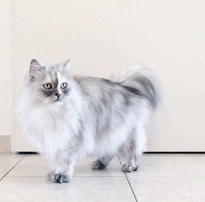adopted-cat-fur-persian-halloalice-30-1
