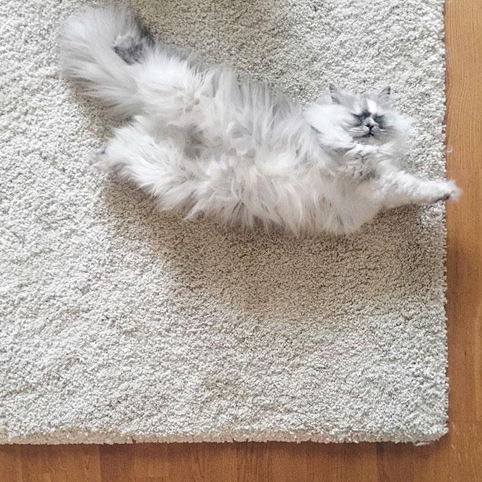 adopted-cat-fur-persian-halloalice-5