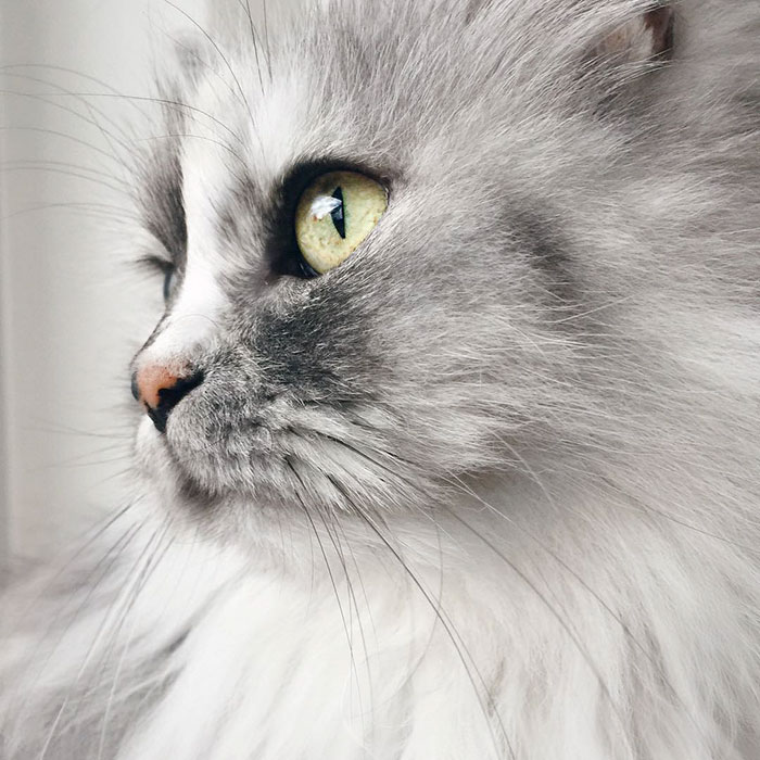adopted-cat-fur-persian-halloalice-8