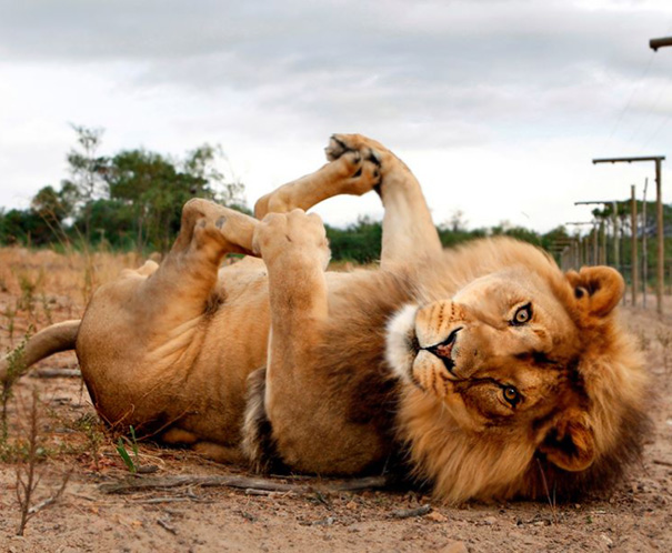 animals-yoga-poses-58-57bc38ad2d380__605