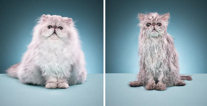 funny-wet-pets-before-after-bath-dogs-cats-1-5728ac4a624ae__700