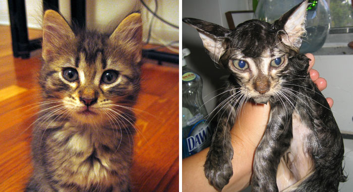 funny-wet-pets-before-after-bath-dogs-cats-48-5728aac6e3b3a__700